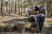 ببینید | برداشت خرما از نخلستانهای بوشهر