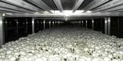 ۳هزار تن قارچ دکمهای در چهارمحال و بختیاری تولید شد