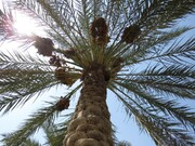 تصاویر / برداشت خرما در روستای ابو دبس شهرستان کارون