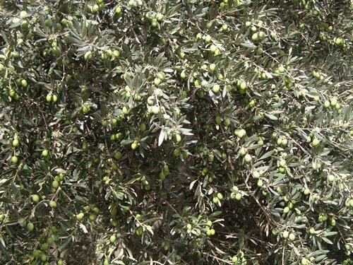 برداشت زیتون سبز در باغات قزوین آغاز شد