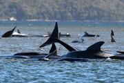 ببینید | خودکشی دسته جمعی ۳۸۰ نهنگ به گل نشسته در استرالیا