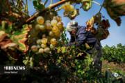 تصاویر | برداشت انگور و تولید کشمش سنتی و صنعتی در تاکستان