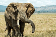 ببینید | تصاویر دلهرهآور از فیلی که دنبال خودرو افتاد