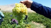 عملیات کیل گیری انگور در باغات شهرستان کیارانجام شد/ثبت برداشت ۱۲۹ تن انگور از هر هکتار