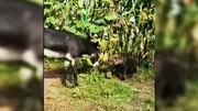 ببینید | وقتی الاغ، کفتار وحشی را حسابی گوشمالی میدهد!