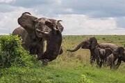 تصاویر | فریمهای اعجاب انگیز و تلخ از انتقام نبرد فیل بوفالوی قاتل