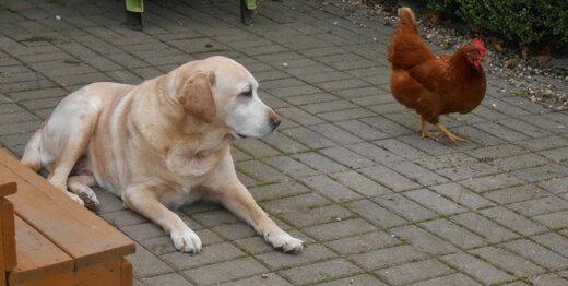 ببینید   بازی جذاب و خندهدار سگ و مرغ