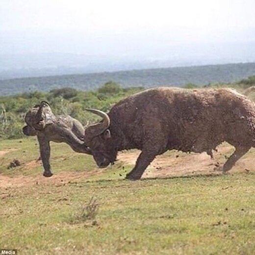 نبرد فیلها در برابر بوفالوها