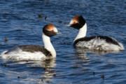 مرگ ۴۰۱ پرنده در تالاب میقان/ آنفلوآنزای فوق حاد پرندگان در مرغداریها گزارش نشده است