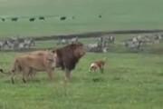 ببینید | حمله شجاعانه سگ به دو شیر