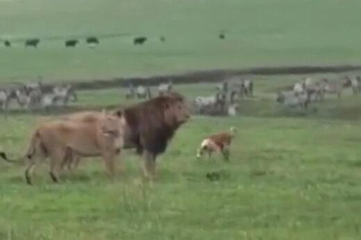 ببینید   حمله شجاعانه سگ به دو شیر