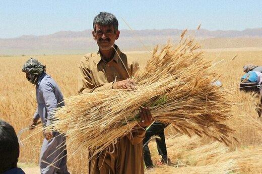 تمام مطالبات گندم کاران استان همدان پرداخت شد