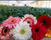 تولید سالانه ۲.۵ میلیون گل شاخه بریده در آذربایجانغربی