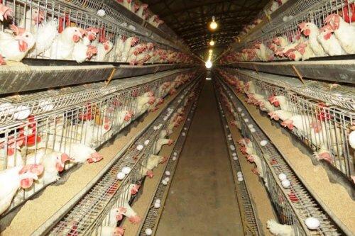 تولید۶هزار تن تخم مرغ در واحدهای مرغداری قزوین