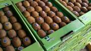 کیوی ایران در راه بازار ۲۵ کشور جهان