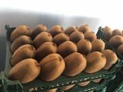 آغاز مجدد صادرات کیوی از ۱۶ مهرماه