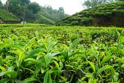 کنیا میخواهد کارخانه تولید ۱۰۰ هزار تن چای در ایران راه اندازی کند