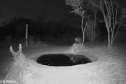 ببینید | وحشت پلنگ از خواهرش در نیمه شب