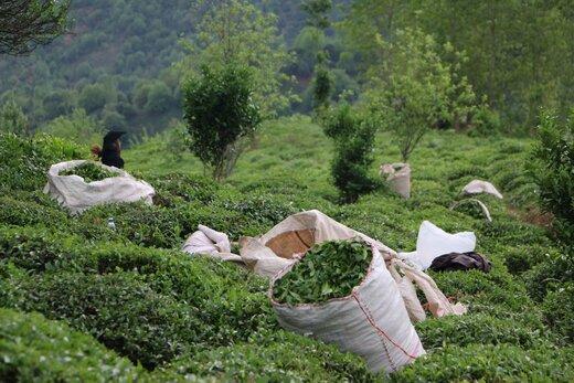 آخرین قیمت چای در بازار/ افزایش ۳۹درصدی صادرات چای ایرانی