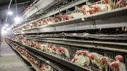 قیمت مرغ بالاتر هم میرود؟