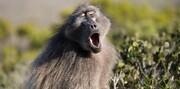 ببینید | سقوط شامپانزه از بالای تیر برق