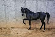 تصاویر | تولید، پرورش و نگهداری اسب