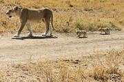 ببینید | دفاع جانانه شیر کوهی از فرزندانش