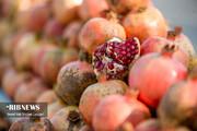 تصاویر | برداشت انار از باغهای بهشهر مازندران