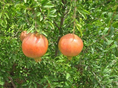 برداشت انار از باغهای قزوین آغاز شد