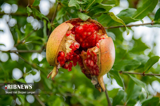 برداشت انار از باغهای بهشهر مازندران