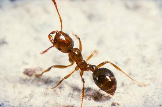 ببینید   قدرت عجیب مورچه در حمل طعمه