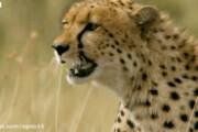 ببینید |  حمله ناگهانی و سریع یوزپلنگ به یک بچه در پارک
