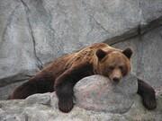 ببینید | وقتی یک خرس هوس صخرهنوردی میکند
