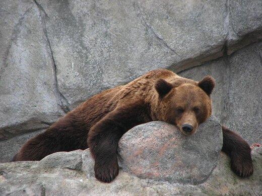 ببینید   وقتی یک خرس هوس صخرهنوردی میکند