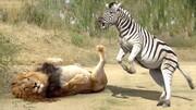 ببینید   مقاومت و مبارزه جانانه گورهخر مقابل شیر