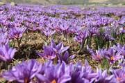 پیش بینی برداشت ۱۸۰ کیلوگرم زعفران در شهرستان بن
