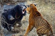 ببینید | نبرد نفسگیر ببر و خرس سیاه