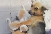 ببینید | سگی مهربان که سرپرستی چند بچه گربه را به عهده گرفت