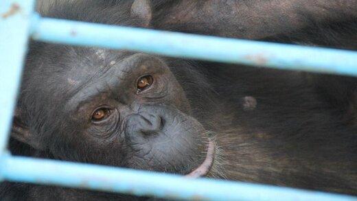 واکنش سازمان محیطزیست به مرگ شامپانزه باغ وحش ارم