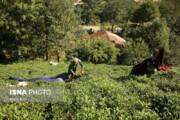 تصاویر | برداشت چای در مزارع گیلان