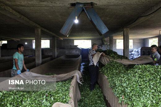 برداشت چای در گیلان