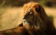 ببینید | وقتی سلطان جنگل در دست یک ایرانی به گربه ملوس خانگی تبدیل میشود