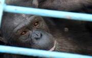 علت مرگ شامپانزه ۱۸ ساله پارک ارم چه بود؟