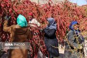 ترس یاقوت کاران از بازگشت دوباره بحران قیمت زرشک/ افت قیمت به انبارهای زرشک حمله کرد