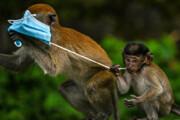ببینید | بازی میمون ها با ماسک صورت