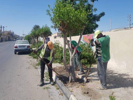 آغاز عملیات انتقال درختان کنوکارپوس شهر قشم