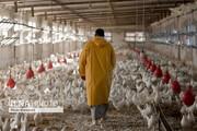 جولان مرغهای گران در بازار/سود گرانفروشی مرغ به جیب چه کسی میرود؟