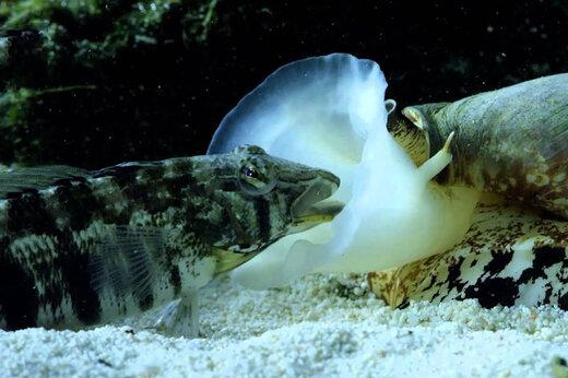 ببینید | باورنکردنیترین قتل در عمق اقیانوس؛ حلزونی که ماهی میخورد!