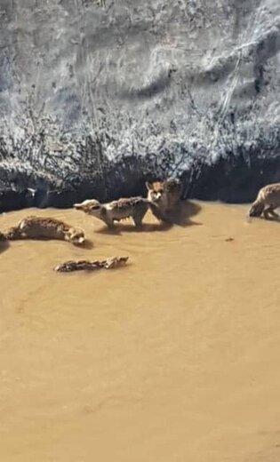 نجات ۱۱ قلاده روباه گرفتار دریک منبع ذخیره آب کشاورزی در الیگودرز