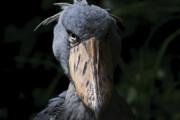 ببینید | تصویری استثنایی یکی از پرندگان نادر که هنوز زنده مانده